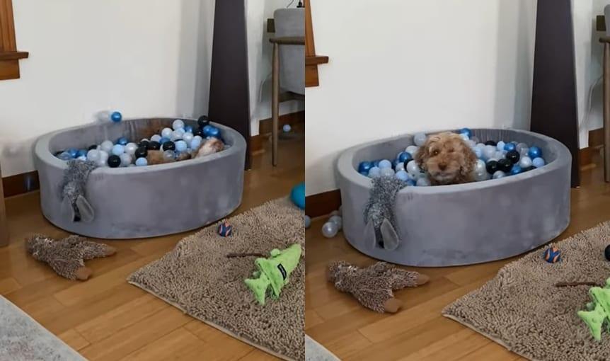 ボールピットから次々飛び出てくるボール。いったい何事かと思っていたら・・・とても楽しそうな顔をした子犬が顔を出しました!」
