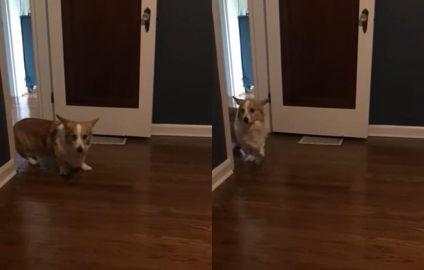 いったい何を見たの?!?!コーギーはそろりそろりとバックして部屋から出て行ってしまいました