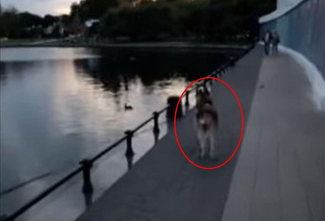 池を泳ぐアヒルに気をとられたハスキー犬に、まさかのアクシデントが発生しました!!