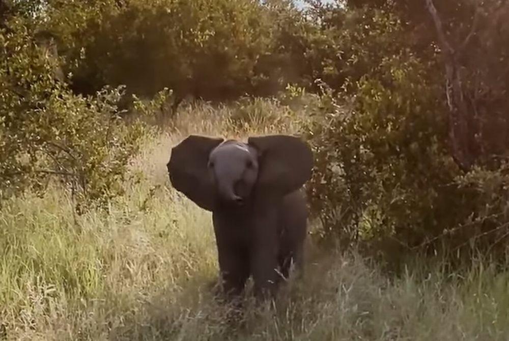 草むらで鉢合わせた象のこどもが「突撃するよ!」と威嚇してくるのですが・・・その姿がかわいすぎて困る