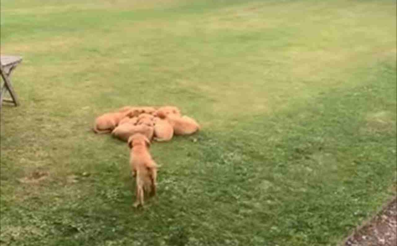 きょうだい仲良く身を寄せ合っているラブラドールレトリバーの子犬たち。そこに1匹遅れてやって来たのですが・・・