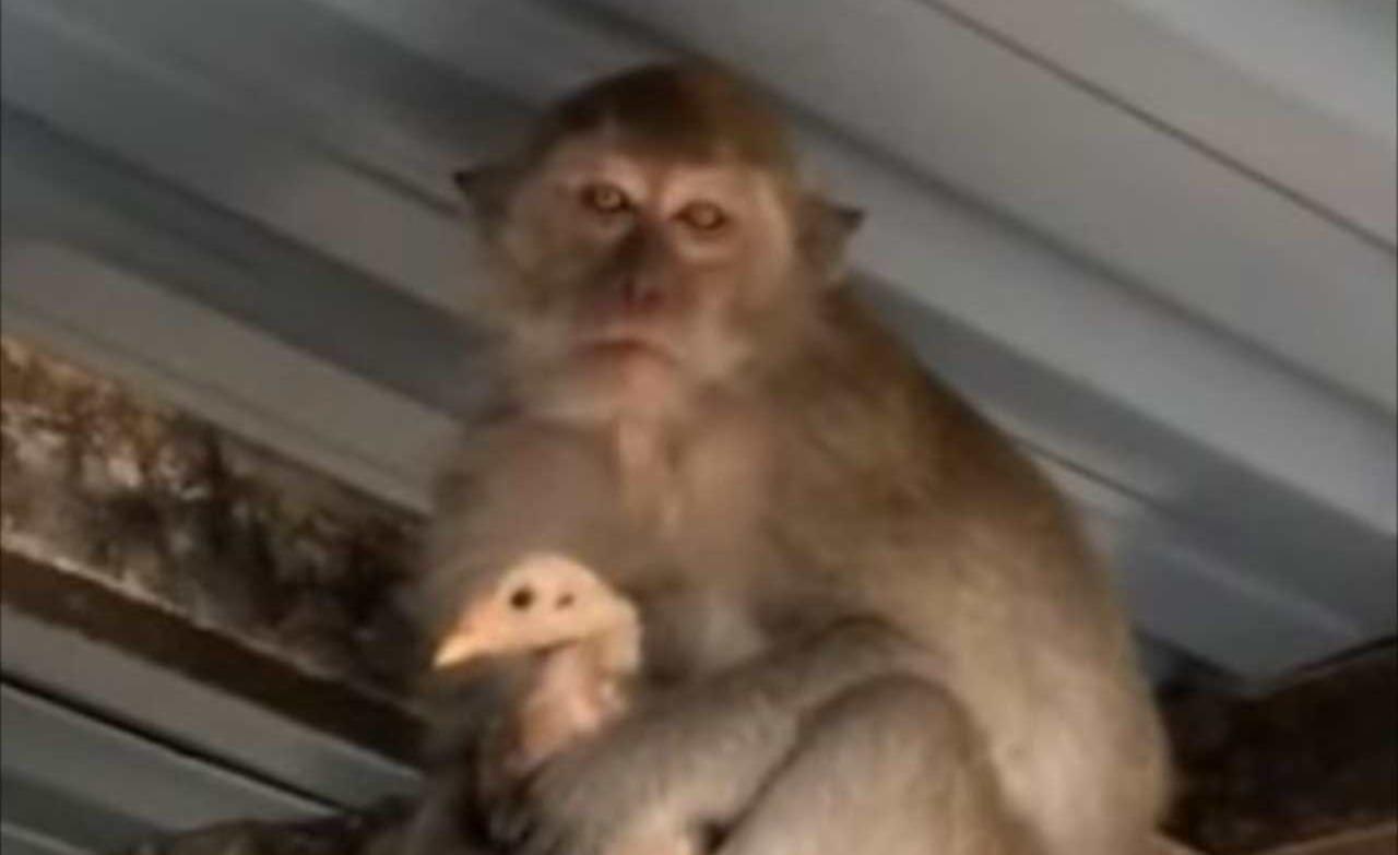 サルはやはりズル賢いのか?!ニワトリを人質にとっているサルの目的とは?