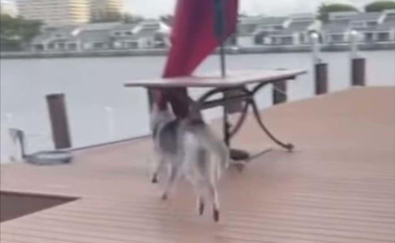 颯爽と駆け抜けていったハスキー犬。するとその直後、想定外のアクシデントが発生したのです!