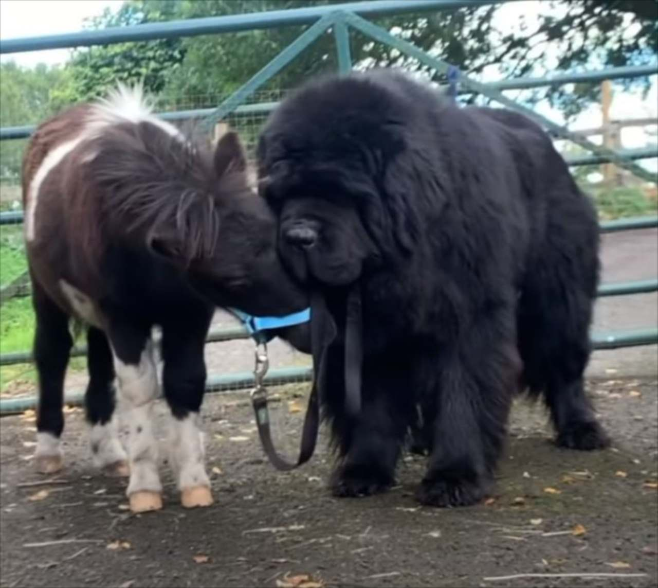 仲良しさんな姿にほっこり。初めて会った時から親友という体の大きなニューファンドランド犬と小さなポニーのこども