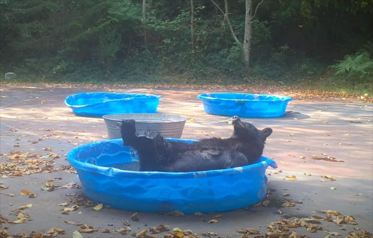 子供用プールに姿をあらわしたクマ。プールでリラックスするその仕草や行動はまるで人間みたい!!