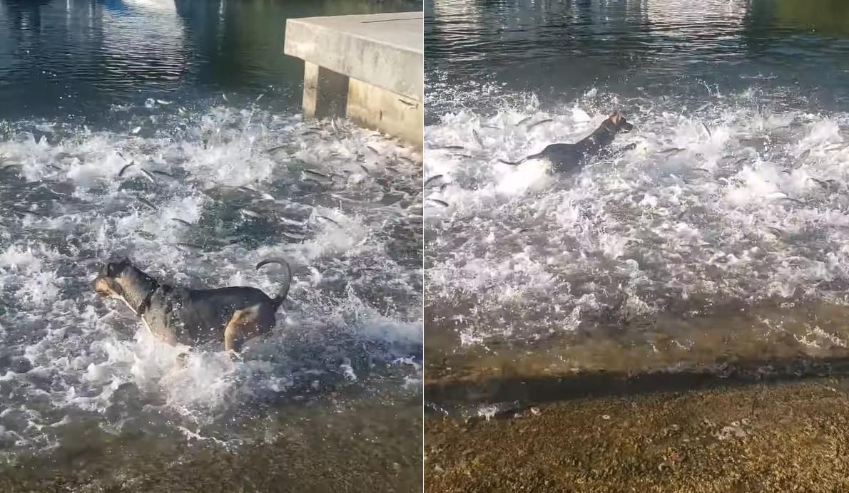 あらビックリ!暑いからと水中に移動した散歩中の犬。なんと、そこには魚の群れがいたようで【テンション爆上がり】