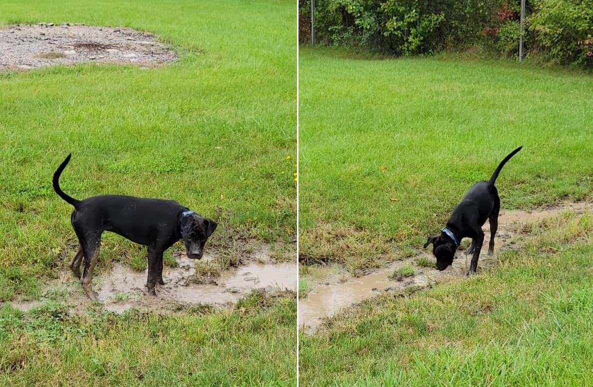 「こっちを掘るの楽しい!あっちも楽しい!」裏庭にできた水たまりで泥遊びをするのに夢中な犬