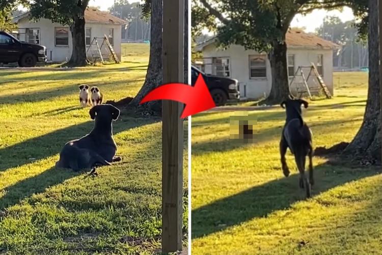 そんなつもりなかったのに・・・。意図せず近所の子犬を怖がらせてしまった切ないグレート・デーン