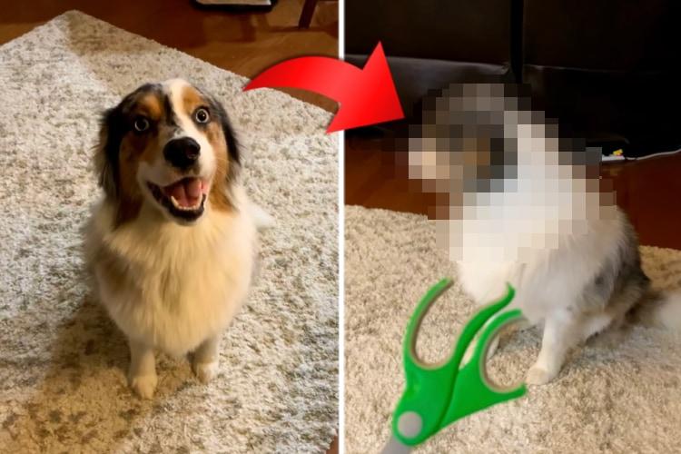 飼い主さんにイタズラの証拠を目の前に突き付けられたオージー。その後は必死で顔をそらして目も合わせてくれなくなりました