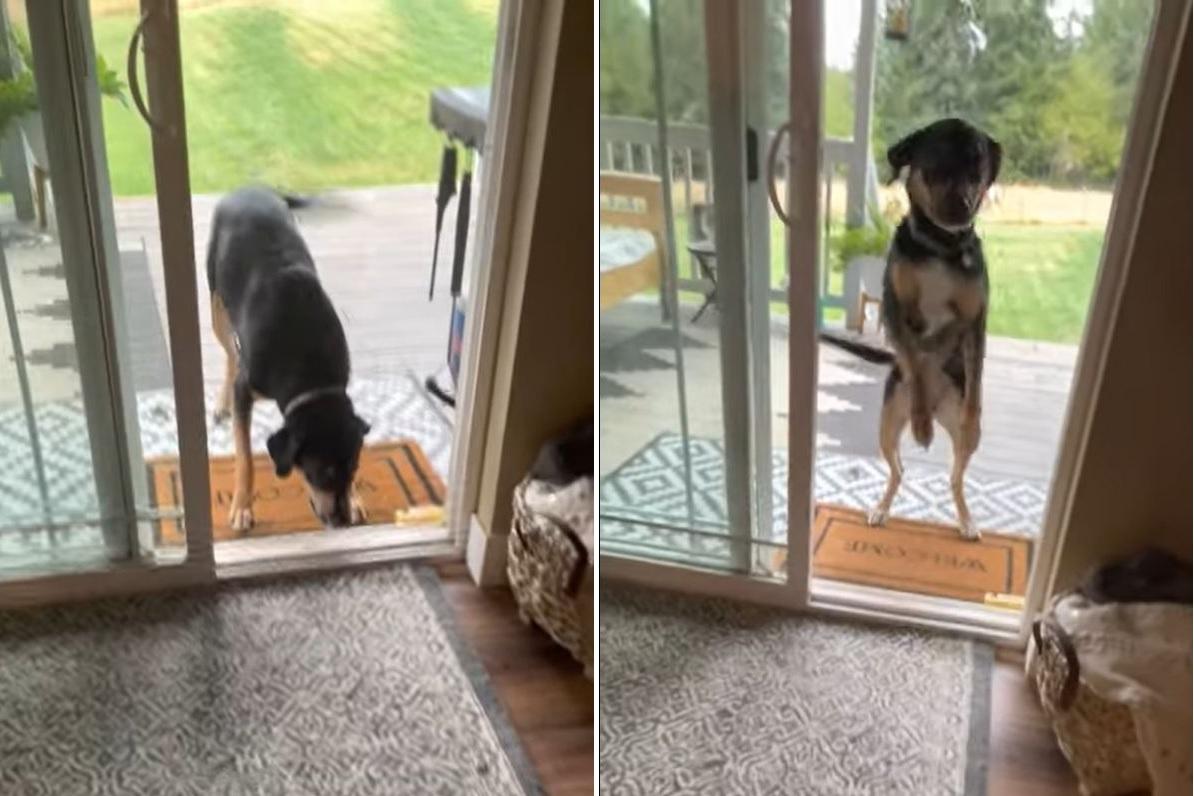 「早く開けてよ!え?開いてる?そんなこと言ってまた網戸あるんでしょ?!」網戸に先日突っ込んでいった愛犬は疑り深くなったようです