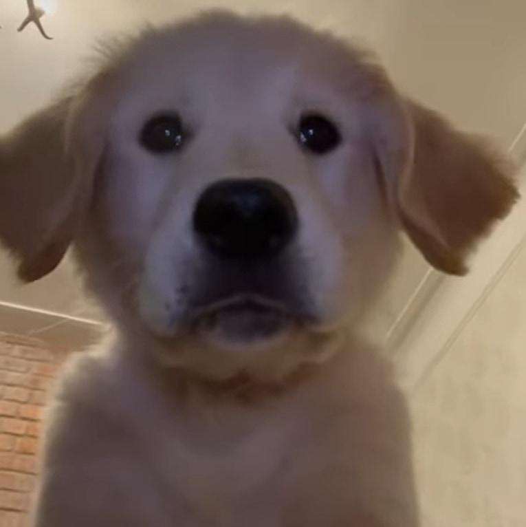とってもきゃわわ!飼い主さんが置いて行ったスマートフォンにはゴールデン・レトリバーの子犬が自撮りをしている姿が残っていました!