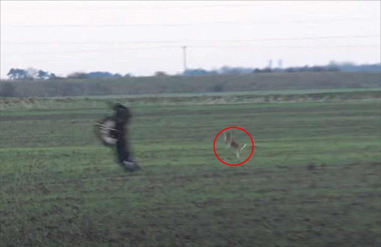 絶体絶命のピンチ!ワシに捕獲されそうになった野ウサギ・・・その時に見せた『まさかの逃げ方』とは?!