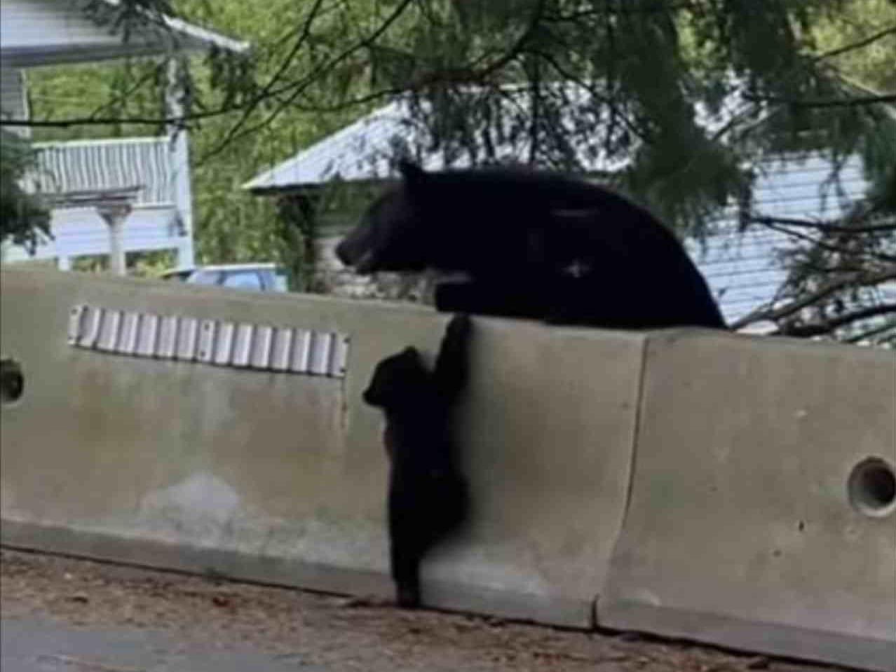 壁を登れないクマのこども。そばにいる親が手助けするのかな?と見ていたら最終的に・・・
