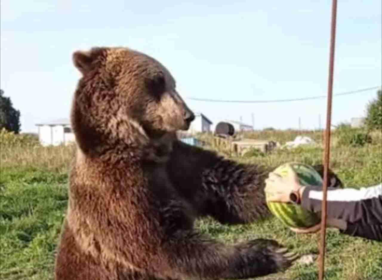 中に人間が入ってる?!スイカをありがたく受け取って美味しそうに食べるクマ