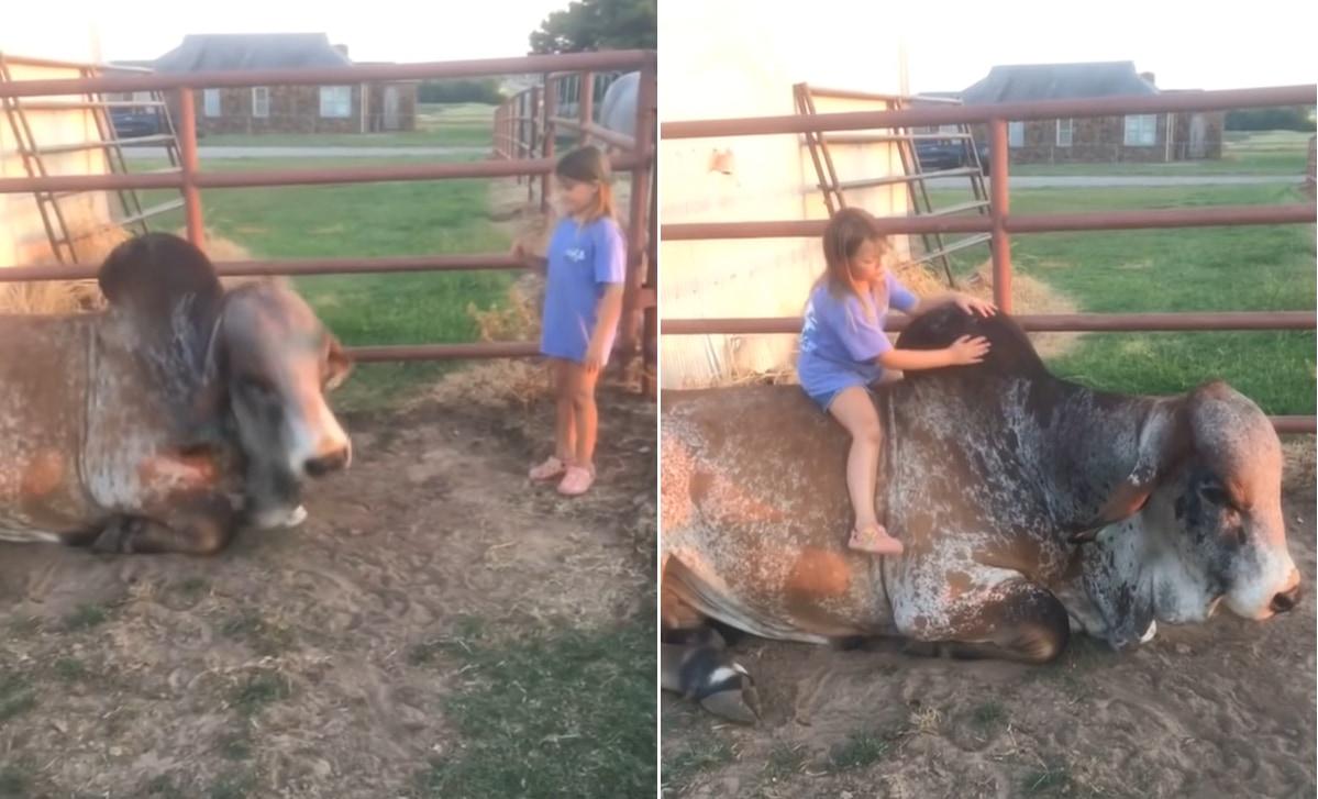 でっかい牛と親友な少女。牛は少女のために姿勢を低くすると、その大きな背中に乗せてあげるのでした