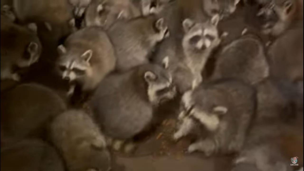 ワラワラワラワラ。玄関には食事を求めてアライグマがいっぱい詰めかけていました!!